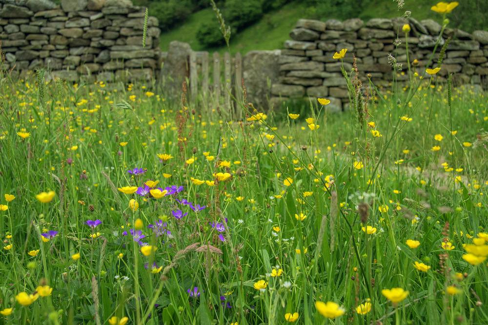 Muker wildflowers