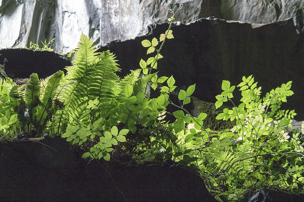 Ferns in Cathedral Cave, Little Langdale