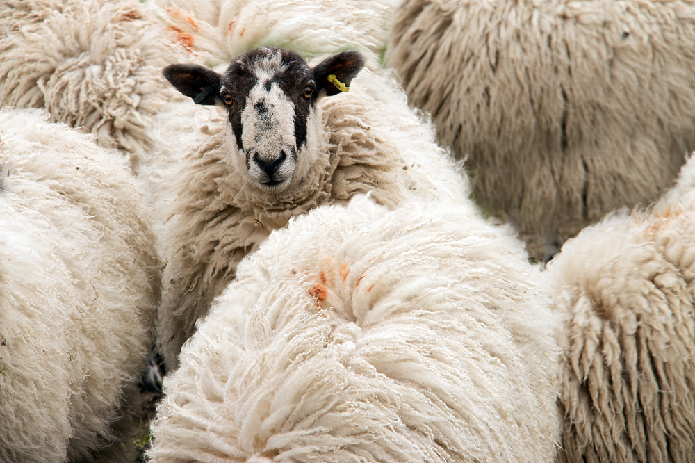 Horse Dale Sheep