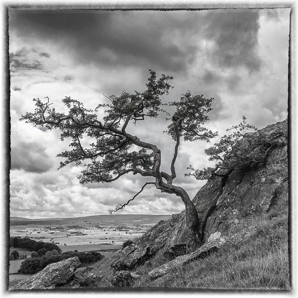 Lone Tree at Norber Erratics