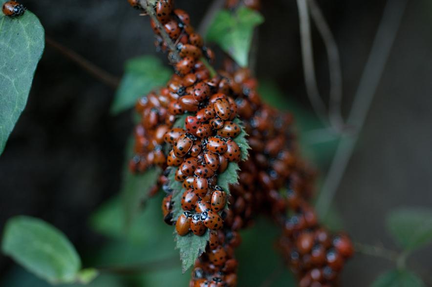 Overwintering Ladybugs, Oakland Hills