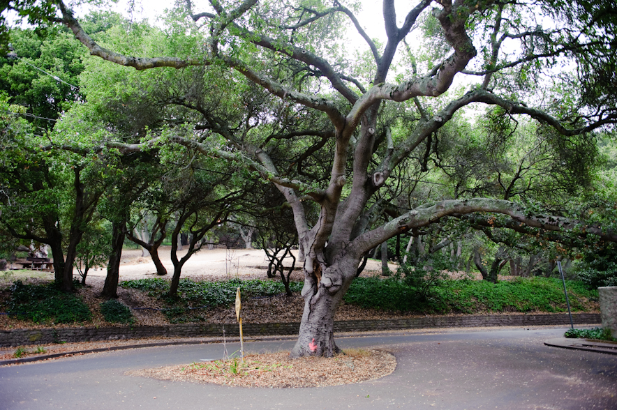 Coast Live Oak at John Hinkle Park, Berkeley