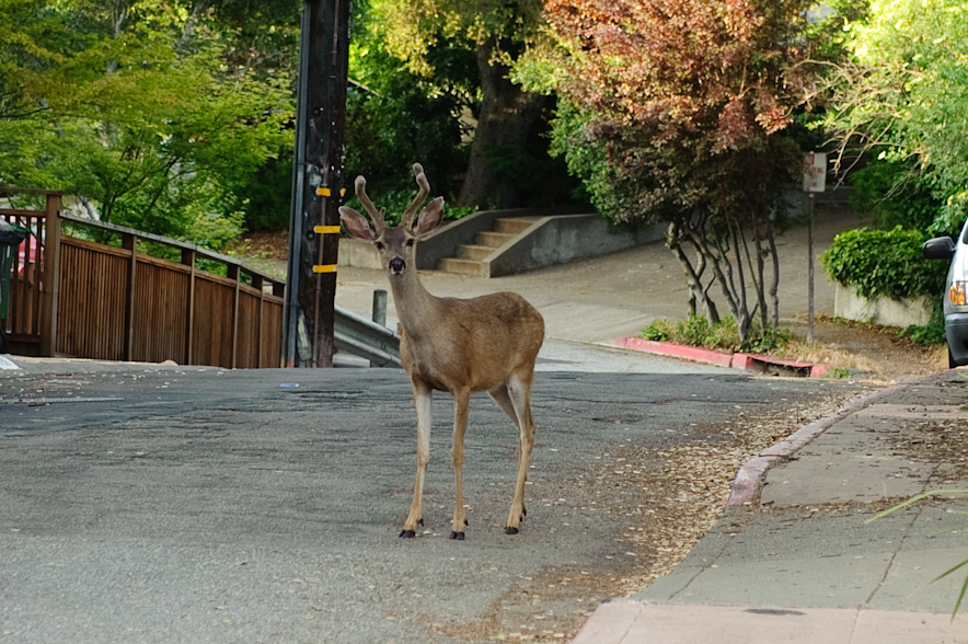 A deer wanders out of the east bay hills woodland out into the street