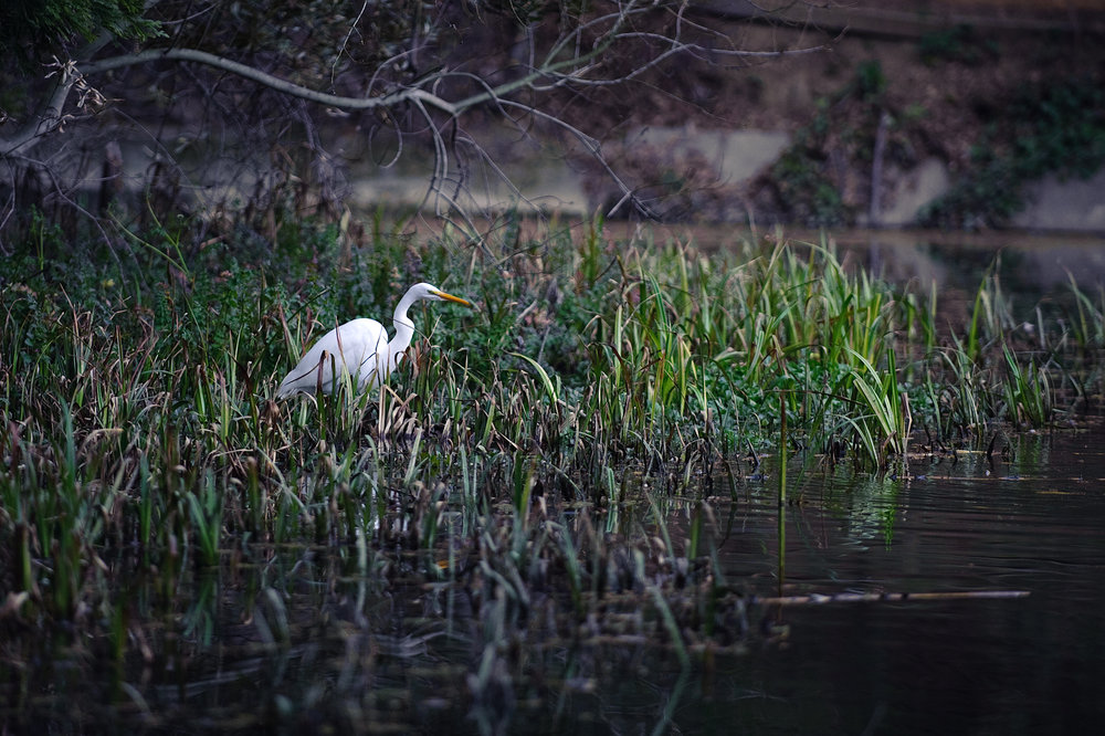 Egret at Jewel Lake