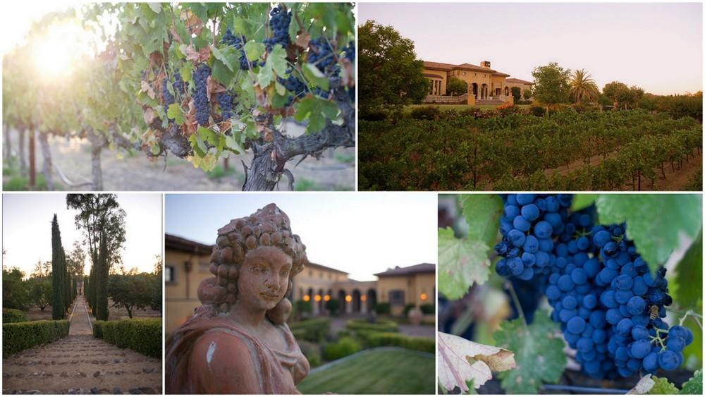 Syrah grapes from the KAJA Vineyard on the eastern slope of Dalla Terra.