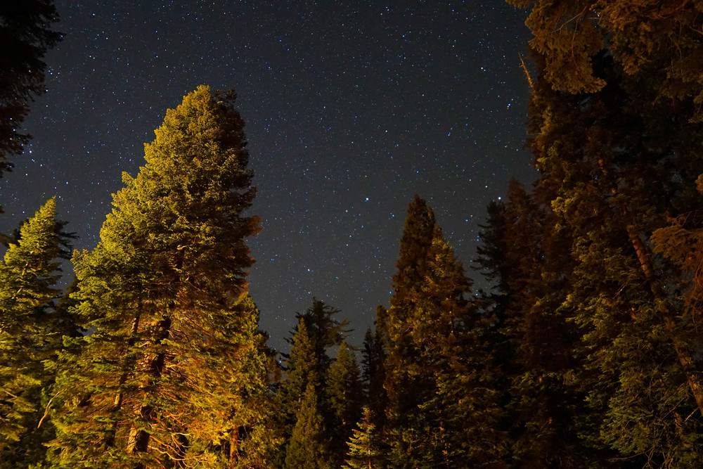 Starry Sequoias
