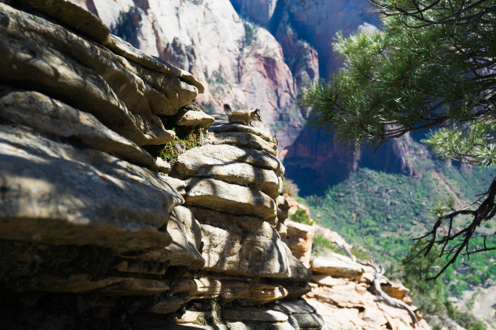 Resident Chipmunk of Angel's Landing
