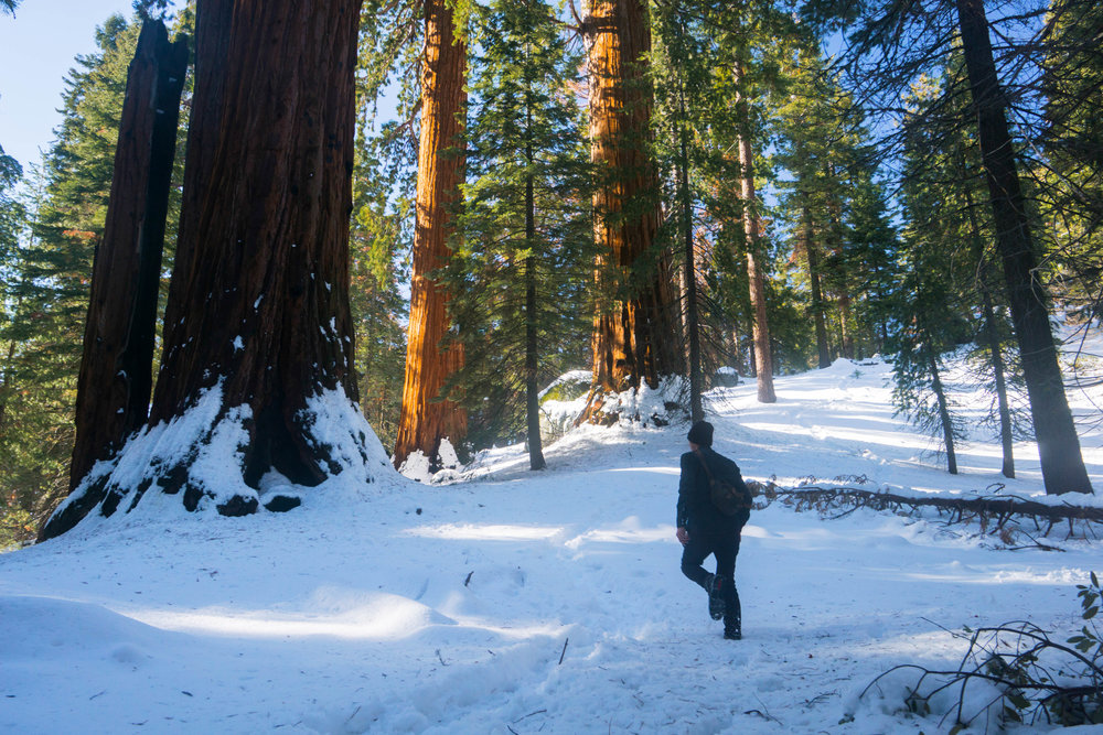 During winter, Grant Grove is transformed as the deep red bark of the trees contrasts against the powdery white of fresh snow.