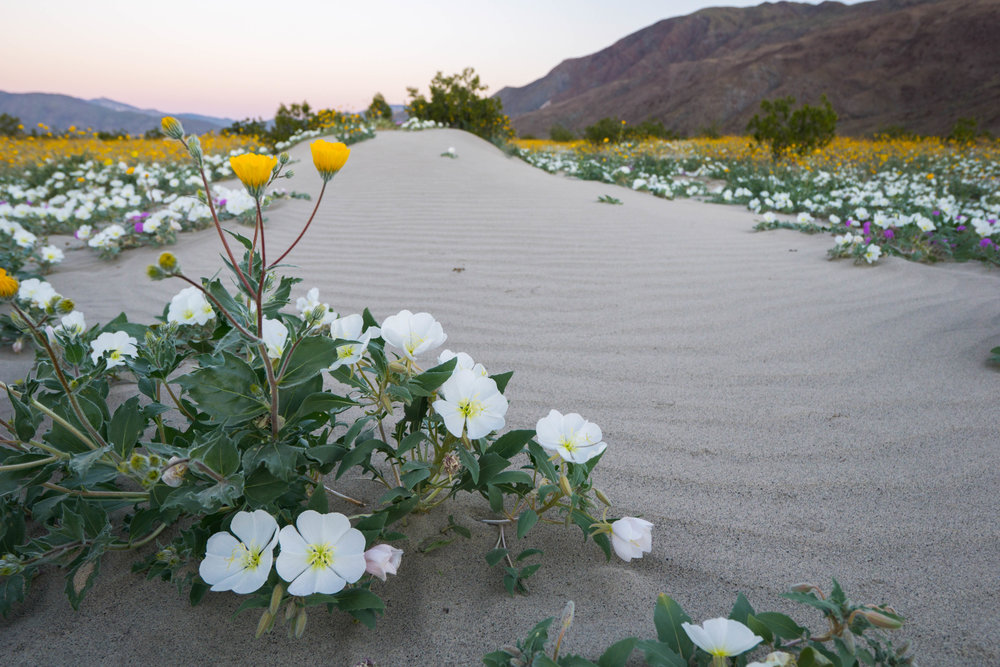 5 years of drought & heavy winter rains transformed the seas of sand into waves of wildflowers