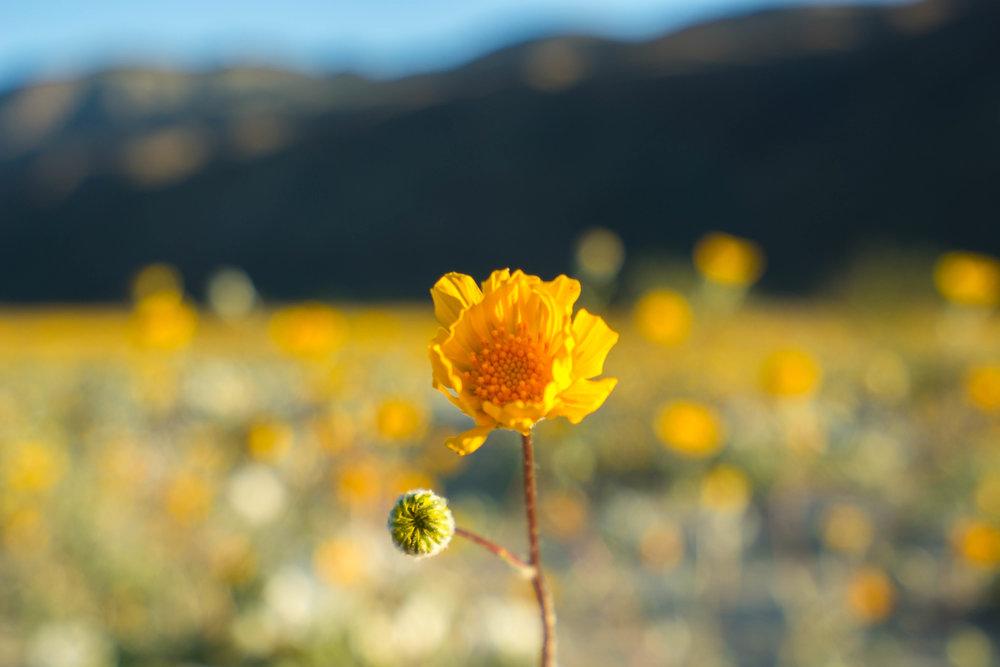 A lone desert sunflower