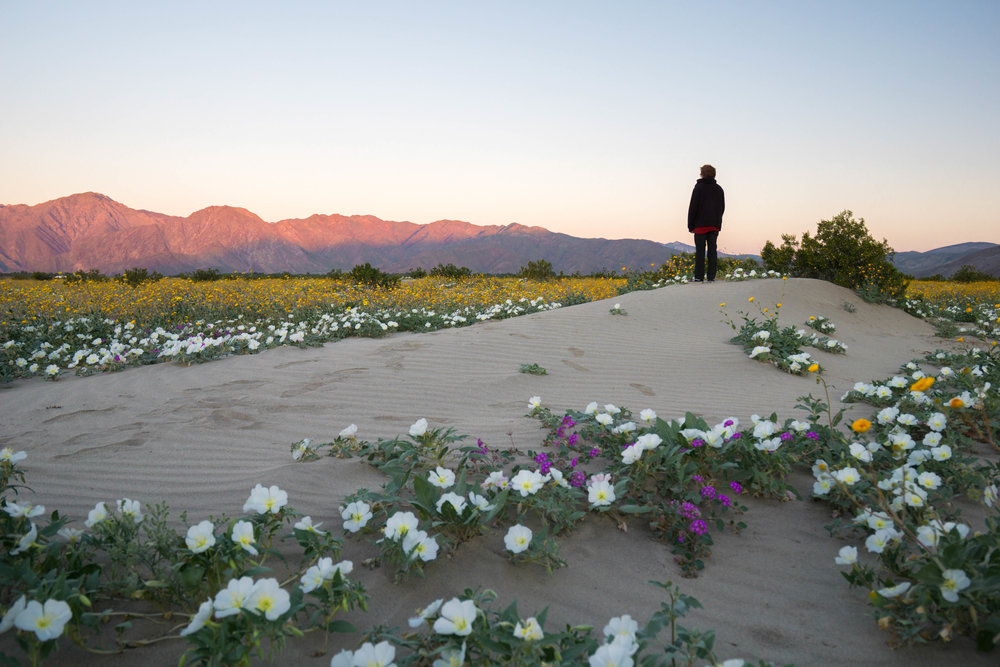 Drought combined with sudden rain activated dormant seeds littered across the desert years ago, producing the largest bloom in nearly 2 decades