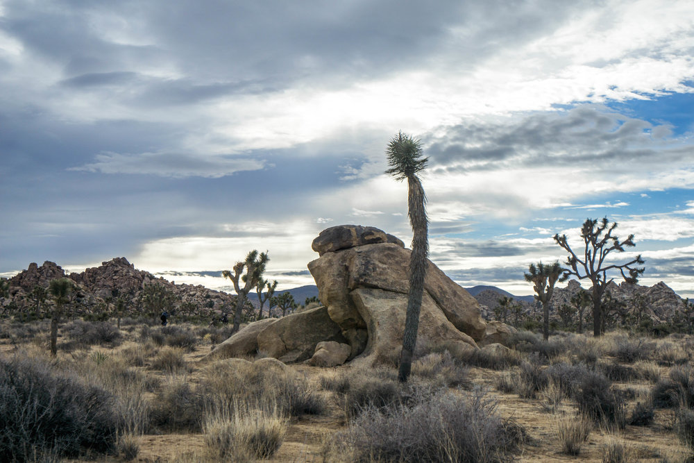 Alien looking branchless Joshua Trees are in the early stages of development, usually no more than a few decades old.