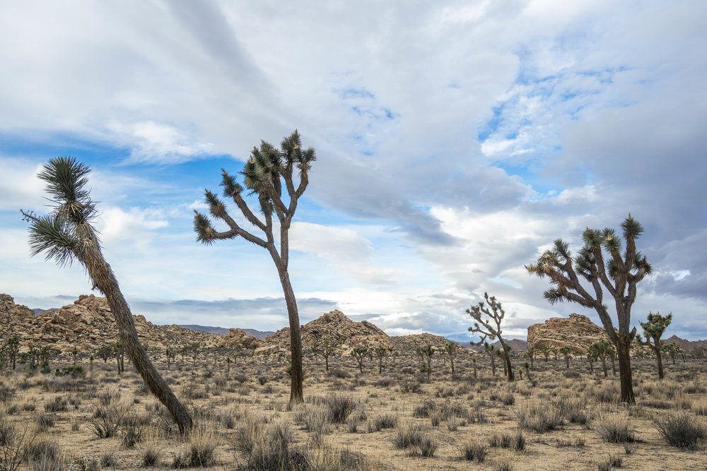 Large mature Joshua Trees with several branches are anywhere from 60 to 500 years old.