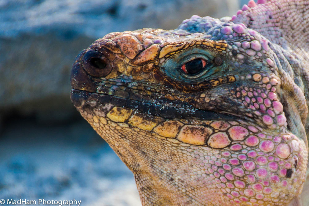 Eye of the Iguana