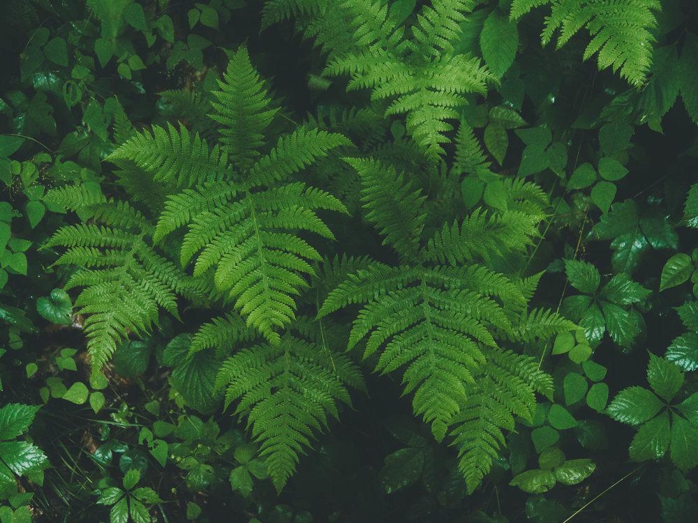 Ferns, Lost Valley, Arkansas