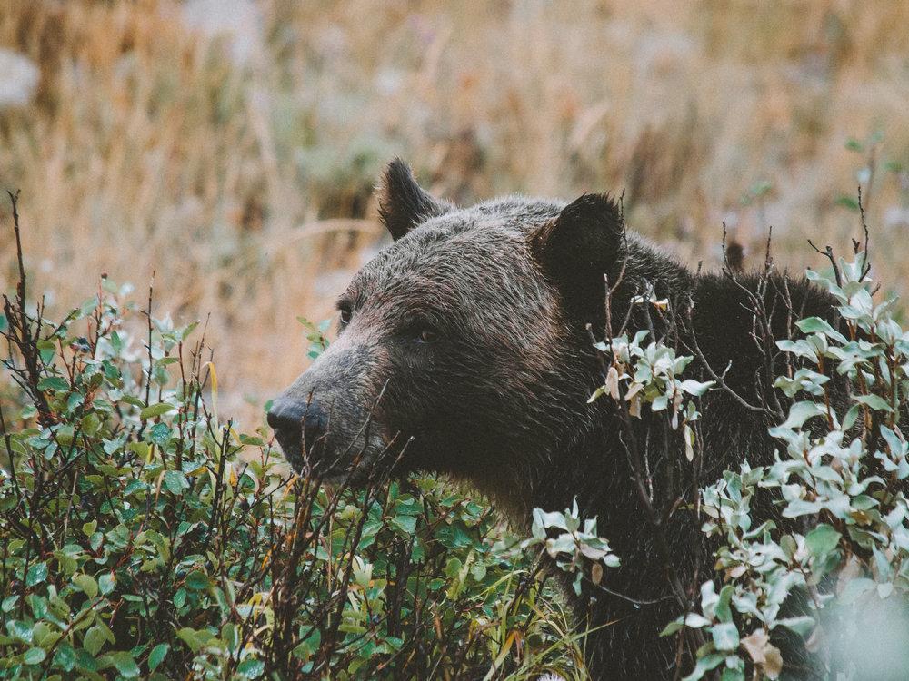 Grizzly Bear, Glacier National Park, Montana