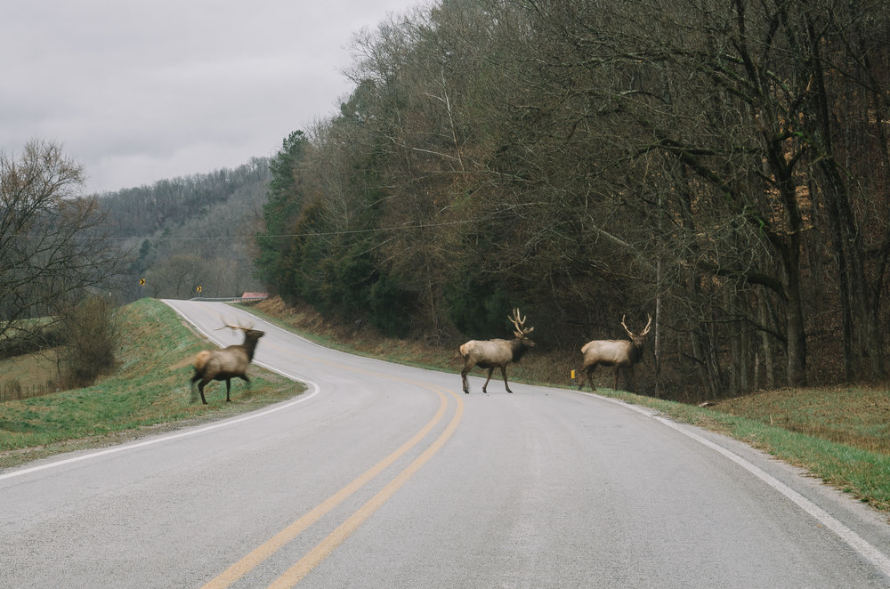 Bull elk crossing HWY 43 in Boxley Valley.