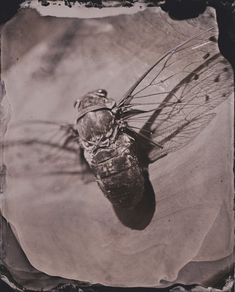 Cicada 2 smaller.jpg