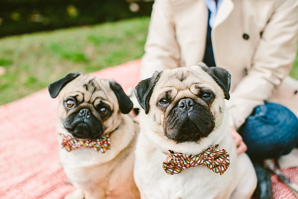twoguineapigs_pet_photography_oh_jaffa_picnic_pugs_1500-2.jpg
