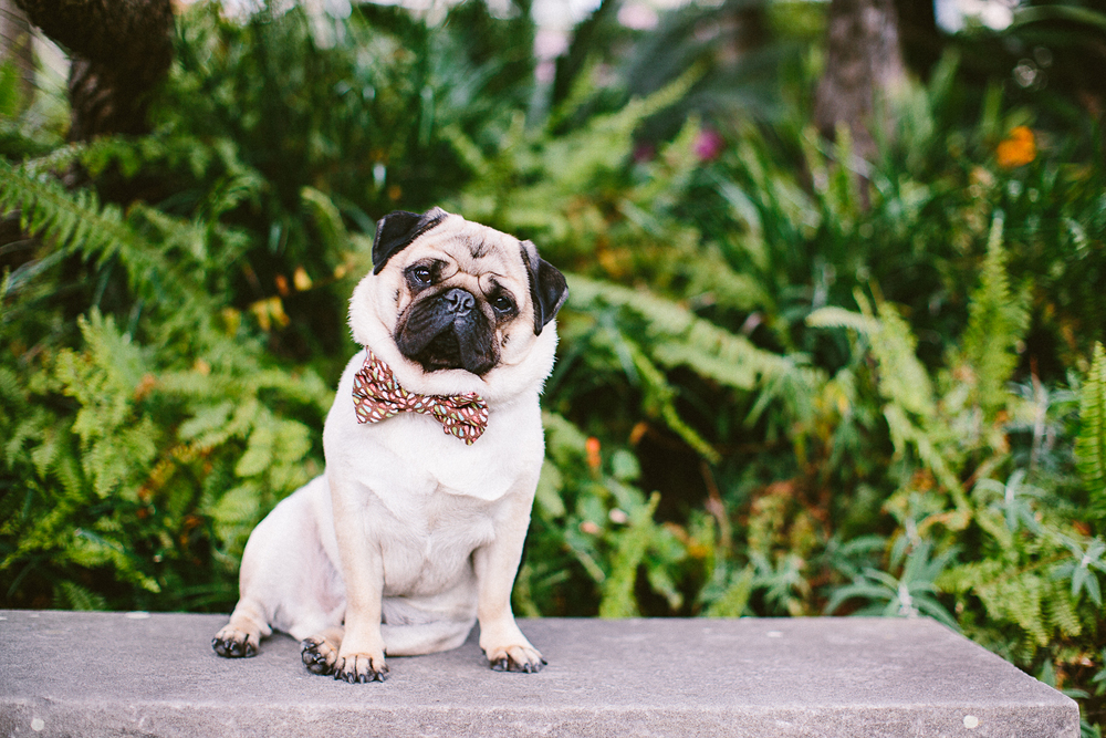 twoguineapigs_pet_photography_oh_jaffa_picnic_pugs_1500-18.jpg