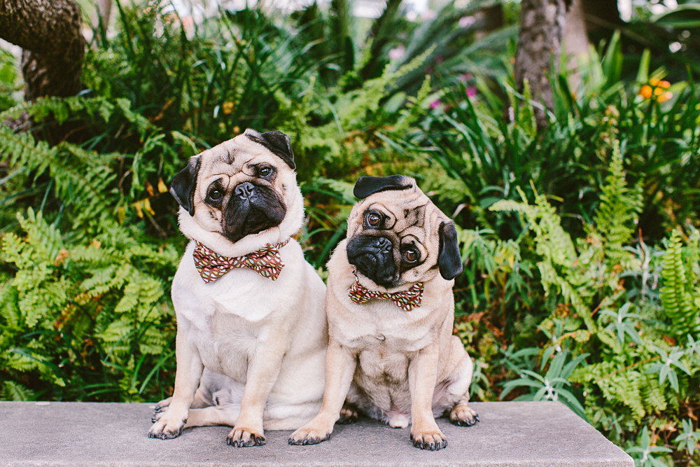twoguineapigs_pet_photography_oh_jaffa_picnic_pugs_1500-19.jpg