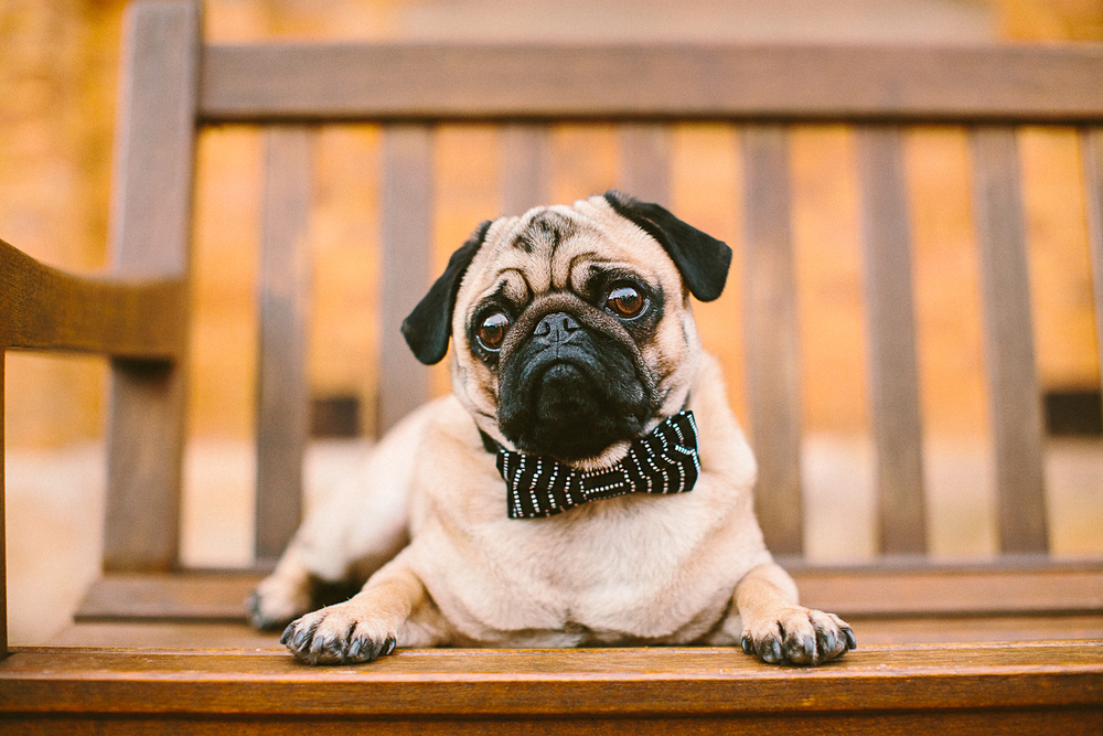 twoguineapigs_pet_photography_oh_jaffa_pugs_bow_ties_collars_BLACKSTPS_1500-16.jpg