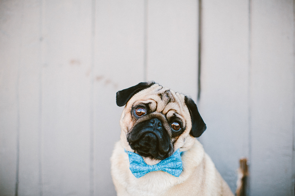 oh-jaffa-bow-ties-dog-collars-blue-sticks