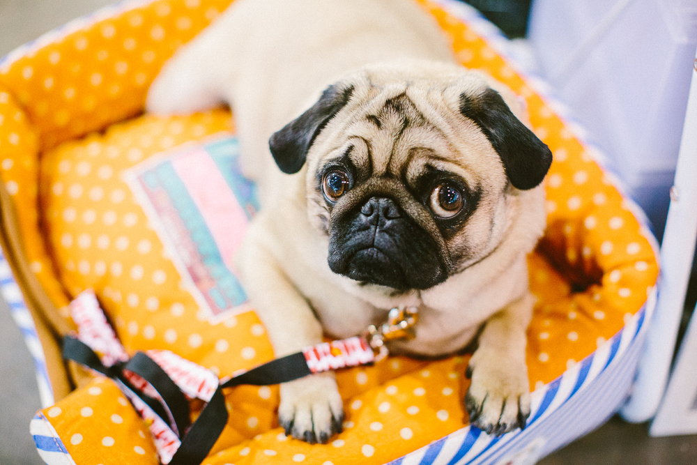 twoguineapigs_pet_photography_oh_jaffa_bow_ties_pug_dog_lovers_show_1500-27.jpg