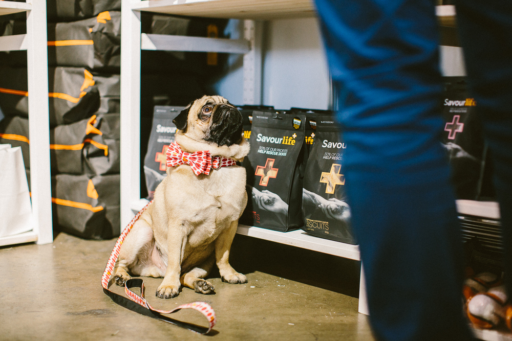 twoguineapigs_pet_photography_oh_jaffa_bow_ties_pug_dog_lovers_show_1500-20.jpg