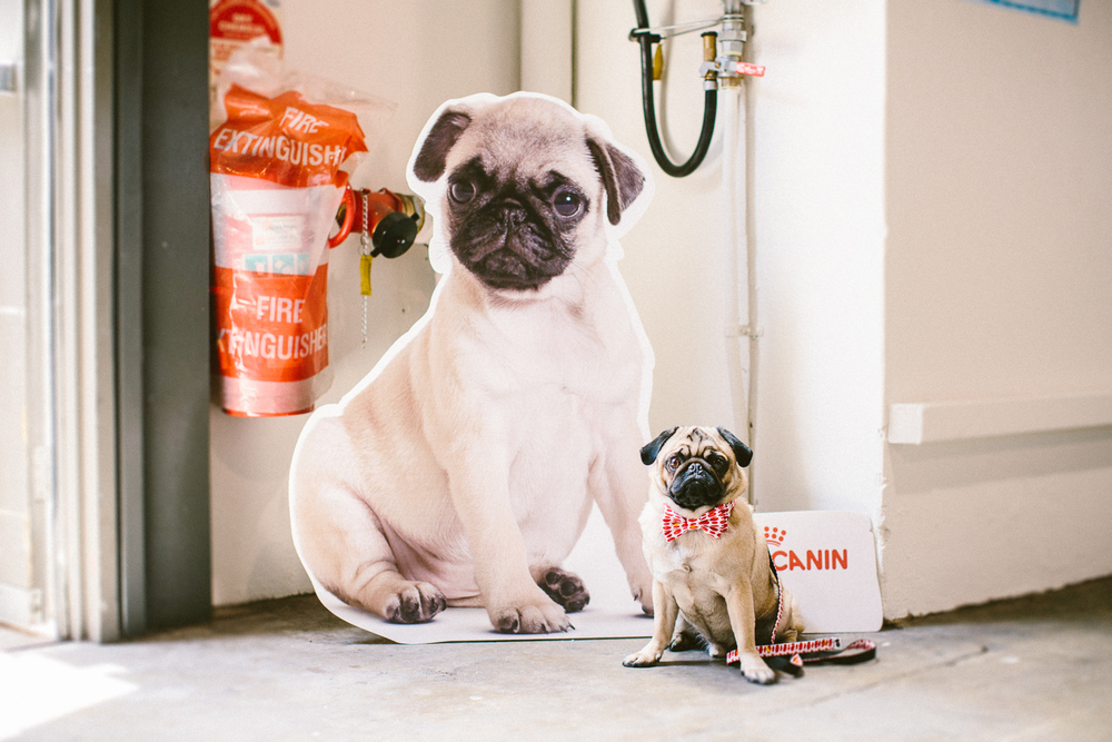 twoguineapigs_pet_photography_oh_jaffa_bow_ties_pug_dog_lovers_show_1500-33.jpg