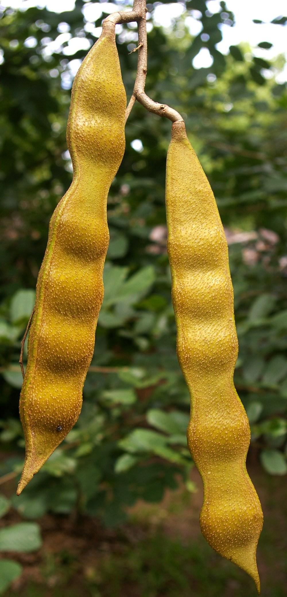 Panga Panga seedpods