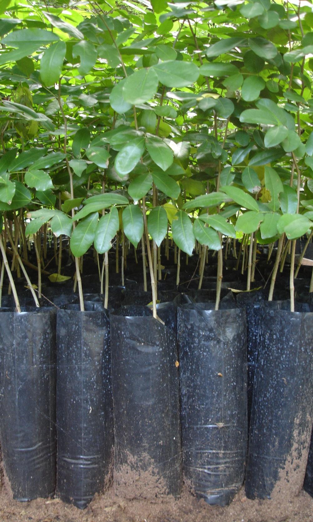 Chanfuta saplings