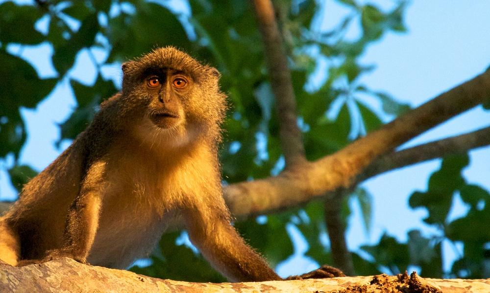 Simango Monkey