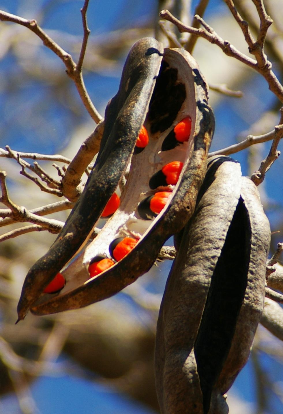 Chamfuta Seedpods