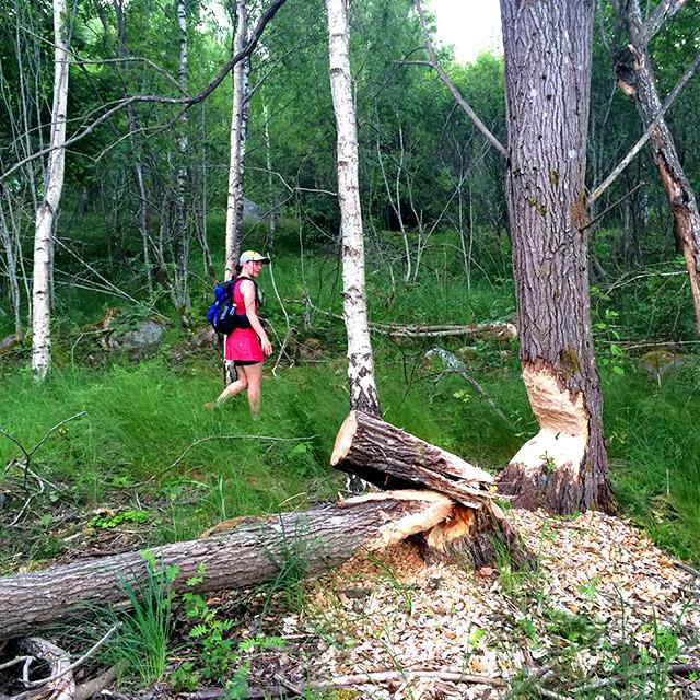 Bävern verkade också vilja fälla några träd.
