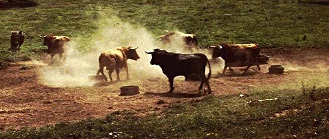 Fighting Bulls in the mountains near Cordoba