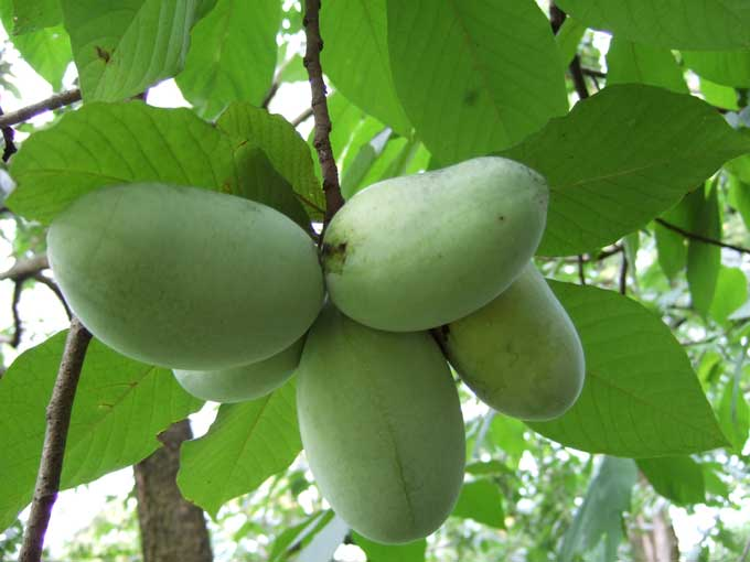 The Pawpaw, largest fruit indigenous to North America and an Ark of Taste food!