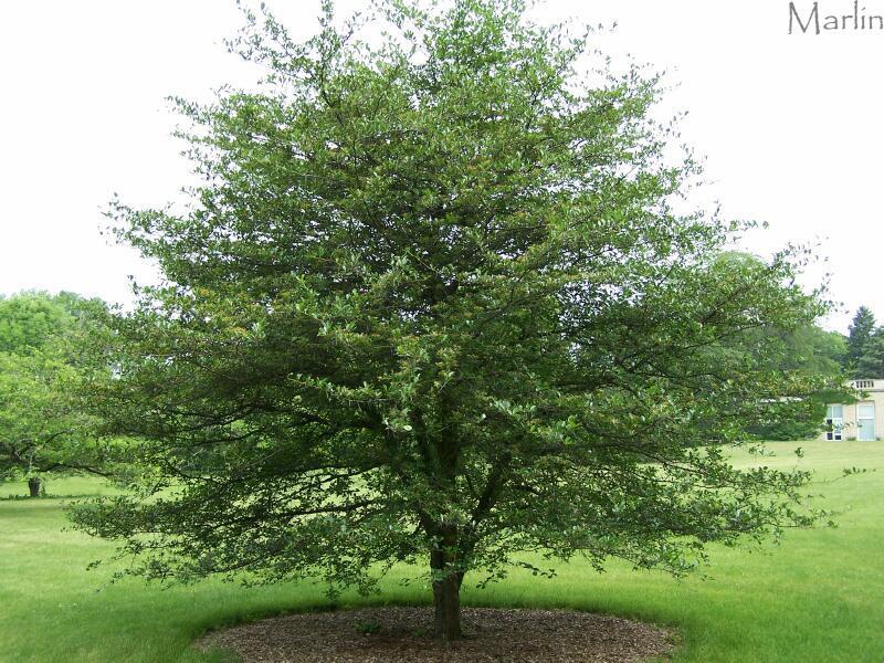 Thornless Hawthorn