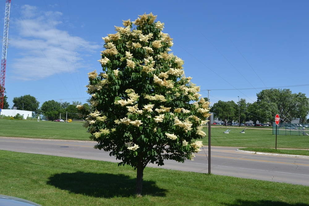 Japanese Tree Lilac in Spring