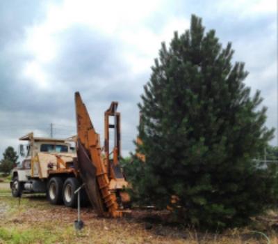 spade pine.jpg