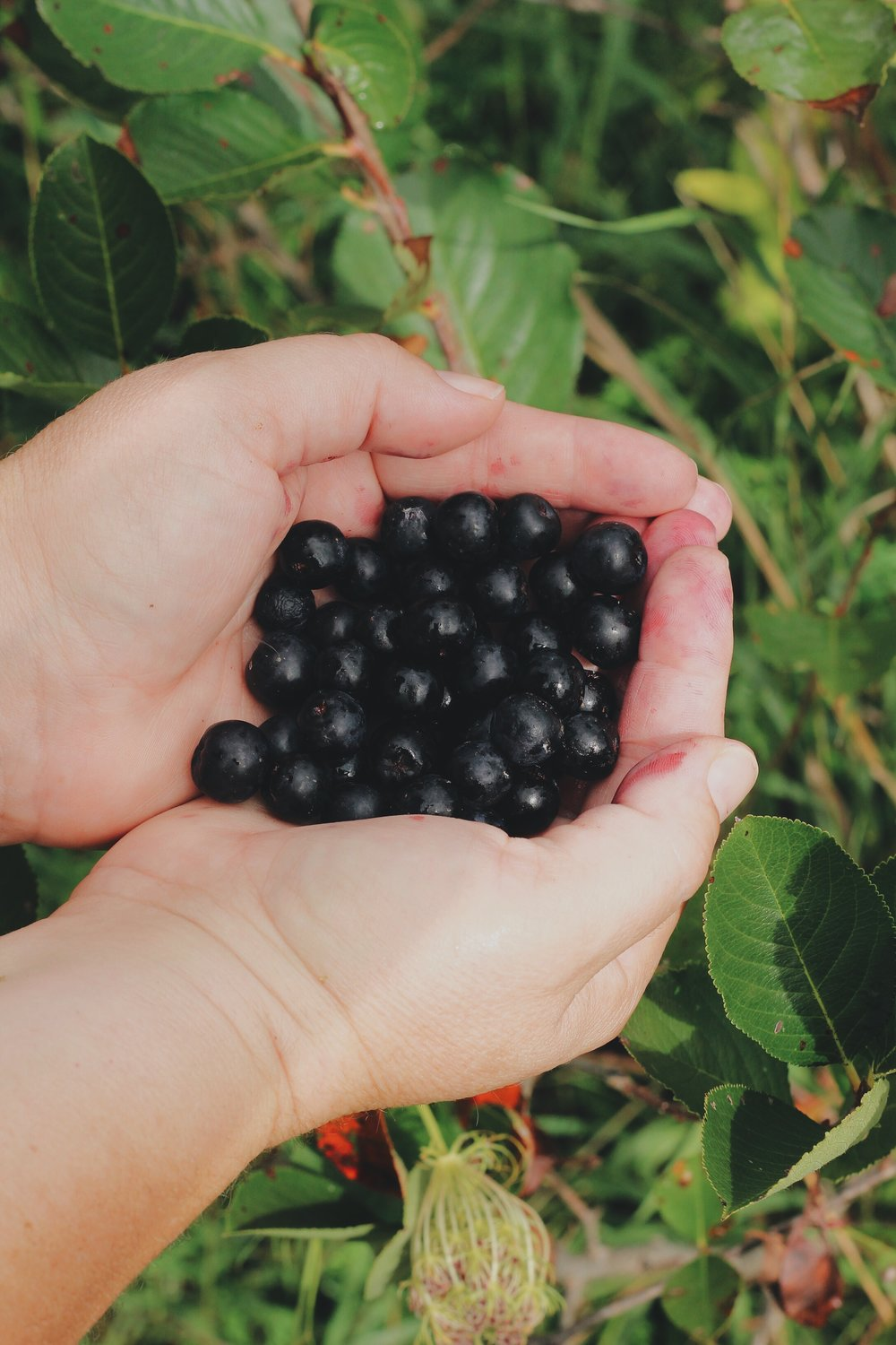 Forum on this topic: Introducing the aronia berry, introducing-the-aronia-berry/