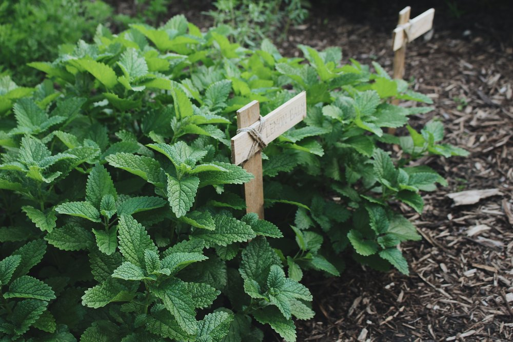 Lemon Balm, An Herbal Profile - Under A Tin Roof Blog