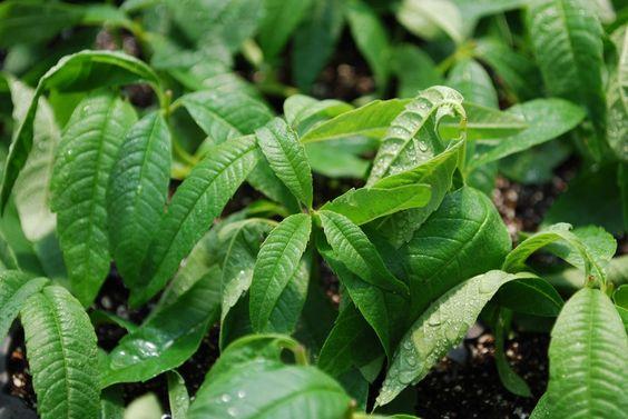 image via  Bonnie Plants