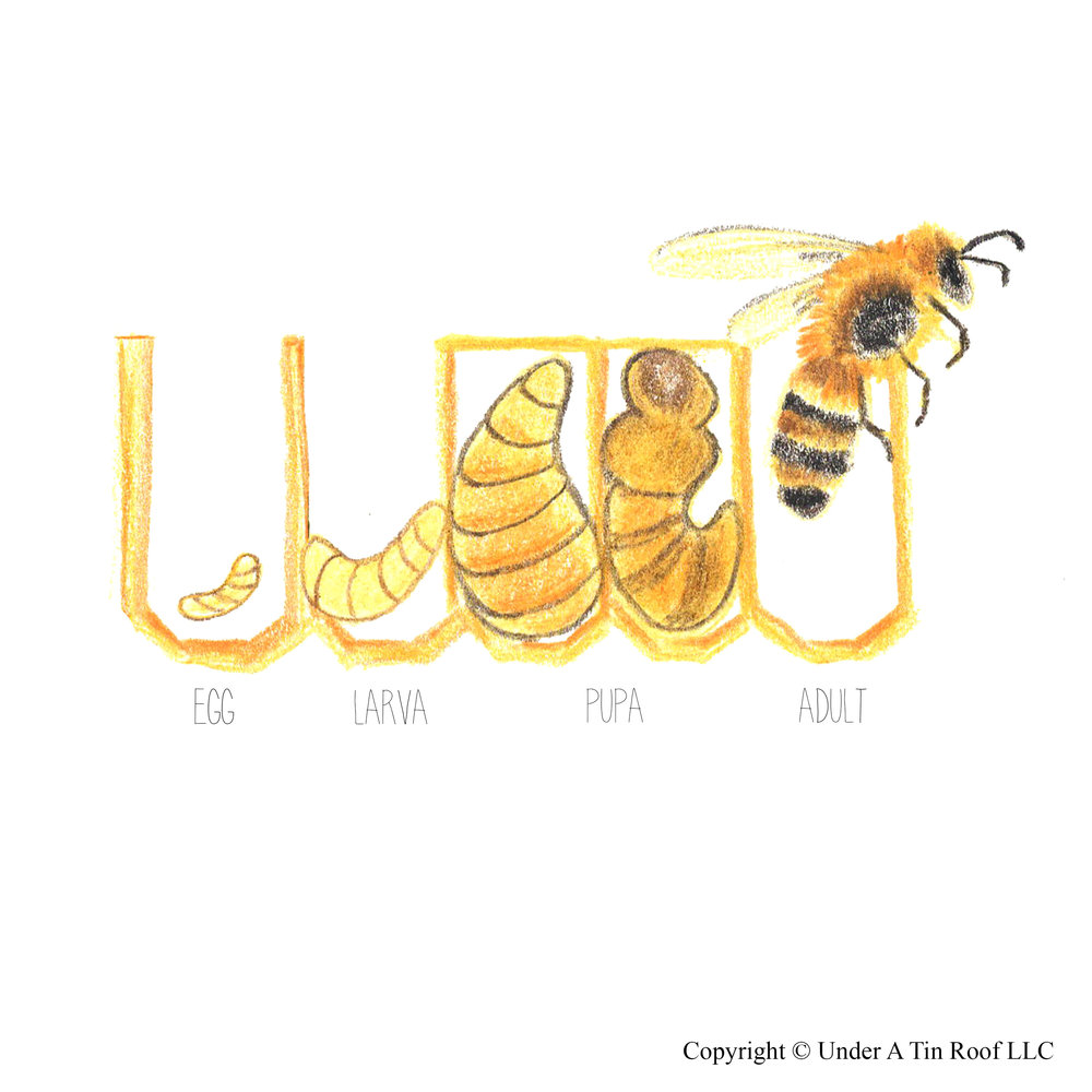 The Biology of the Honeybee — Under A Tin Roof™