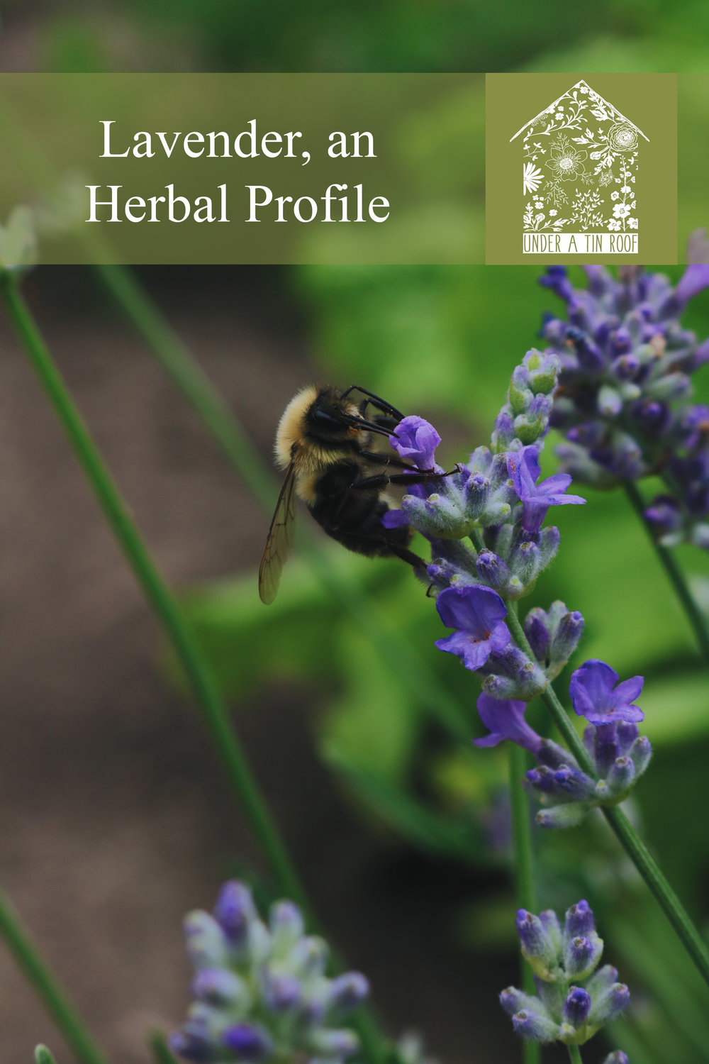 Lavender, an Herbal Profile - Under A Tin Roof Blog