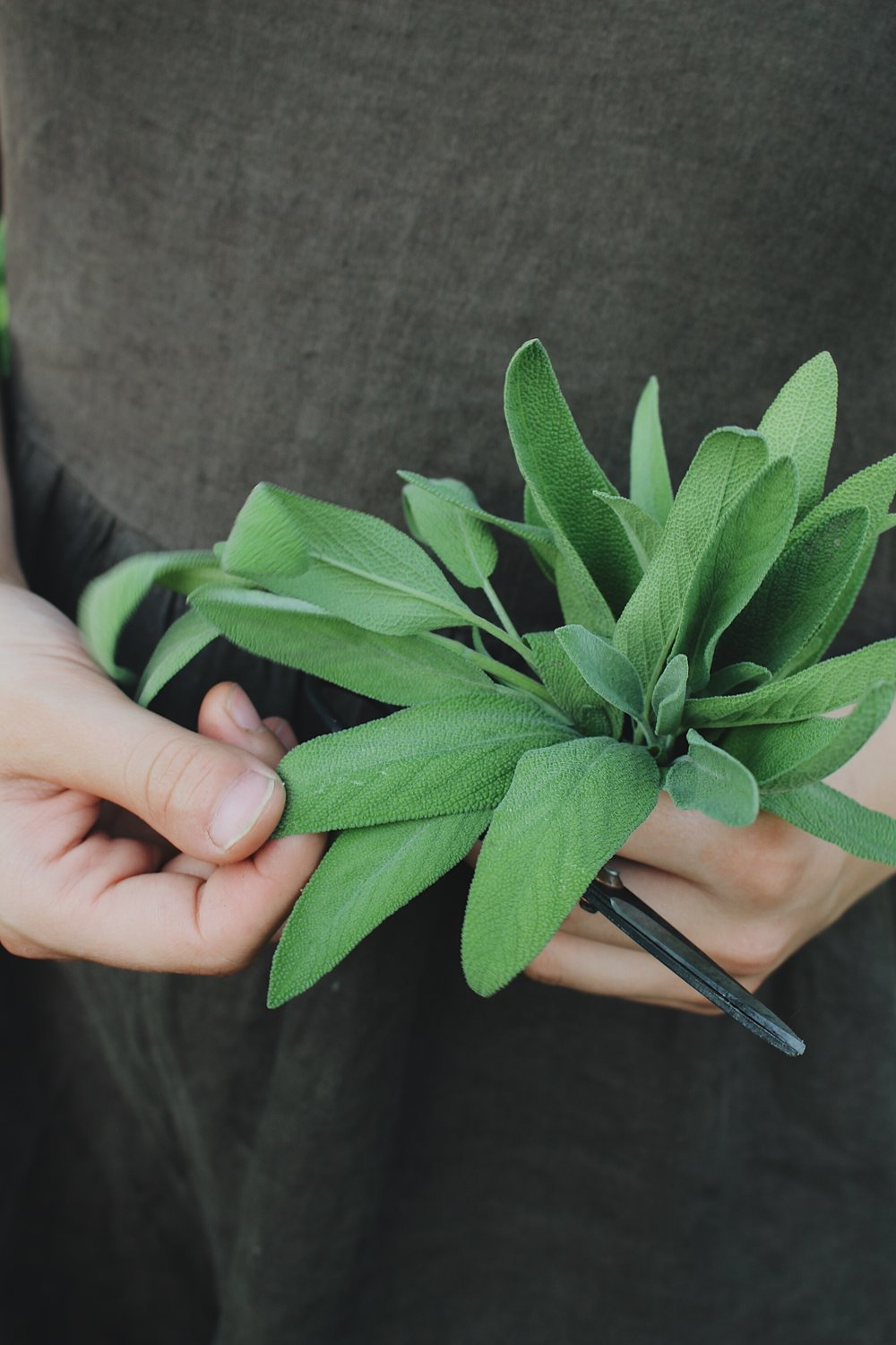 Sage, an Herbal Profile - Under A Tin Roof Blog