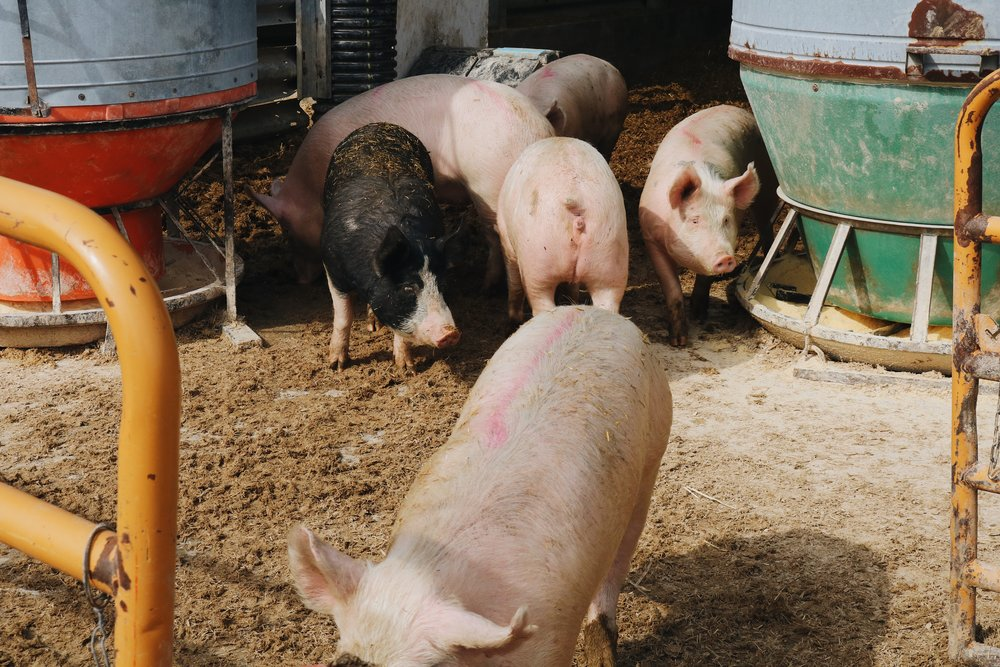 Checking in On The CSA Hogs at Wild Farm - Under A Tin Roof Blog