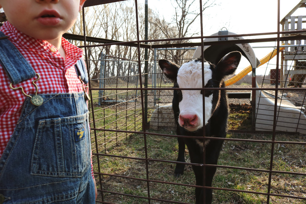 Bottle Feeding Pickles the Cow - Under A Tin Roof Blog