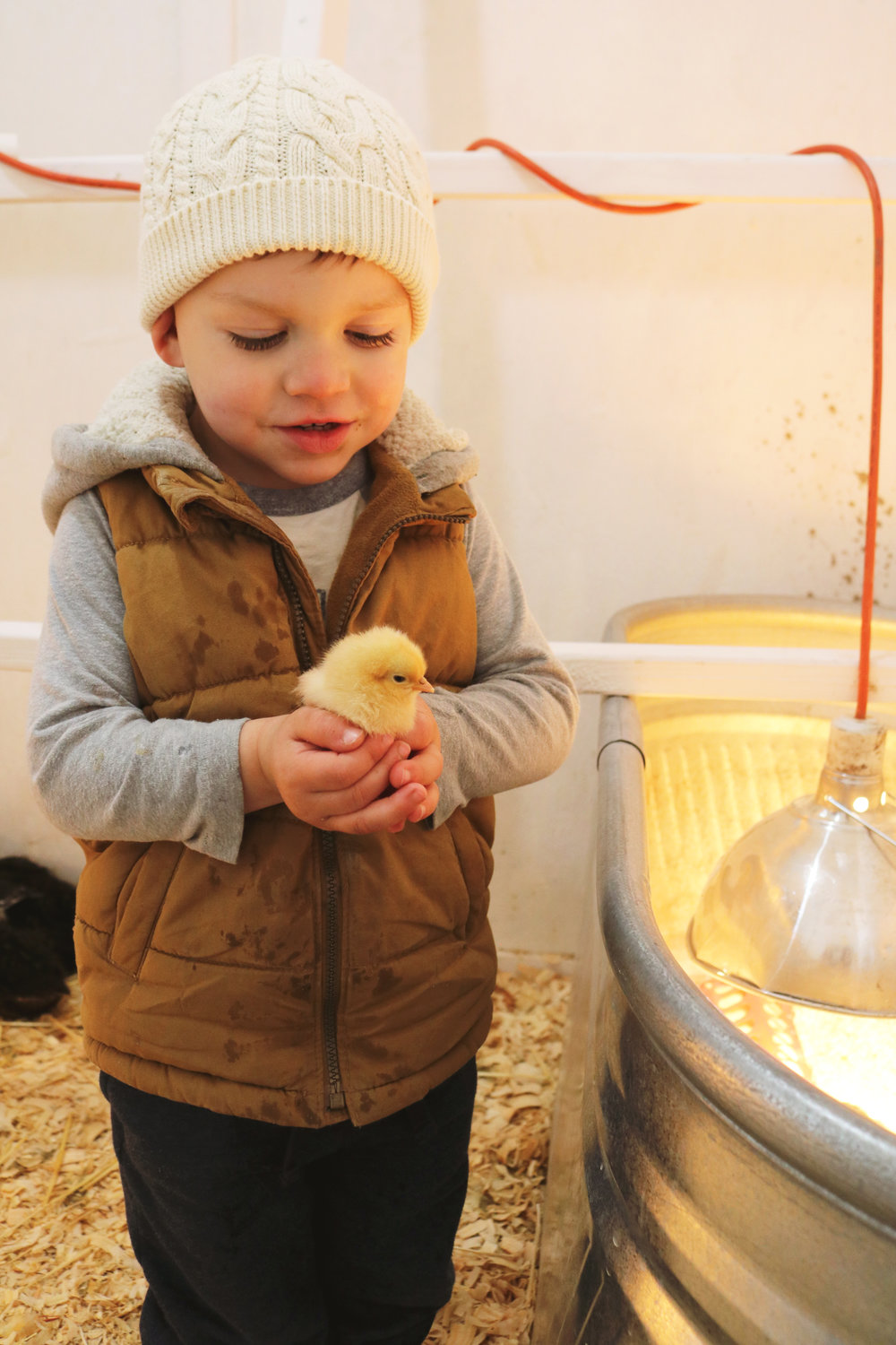 Meet Our New Chicks! - Under A Tin Roof Blog