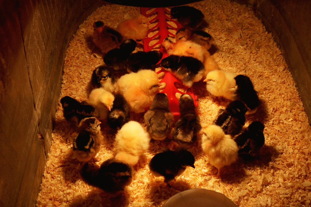 Meet Our New Chicks! - Under A Tin Roof Blog